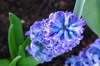 Photograph - Hyacinth by Sheila Byers