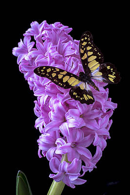 Butterfly Photograph - Hyacinth With Butterfly by Garry Gay