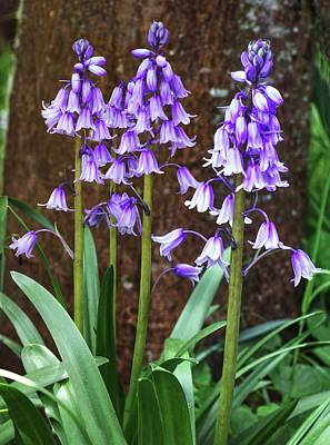 Endymion Photograph - Hyacinthoides Hispanica Flowers by Brian Gadsby