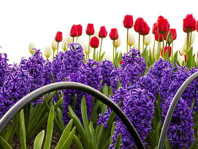 Photograph - Hyacinths And Tulips by Celso Bressan