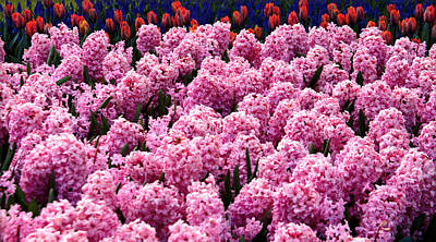 Hyacinth's In Amsterdam Art Print