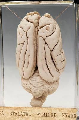 Hyaena Brain Art Print
