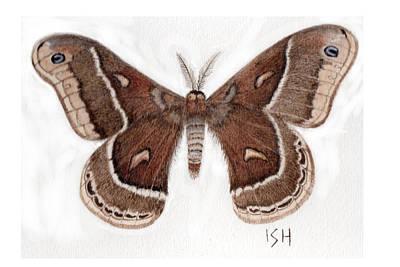 Hyalophora Cecropia/gloveri Hybrid Moth Art Print by Inger Hutton