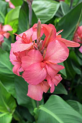 Canna Photograph - Hybrid Cana Lily, Usa by Lisa S. Engelbrecht