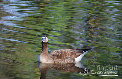 Photograph - Hybrid Canada/greylag Goose 20120419a_83a by Tina Hopkins