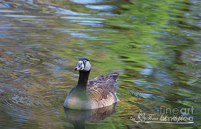 Photograph - Hybrid Canada/greylag Goose 20120419a_86a by Tina Hopkins