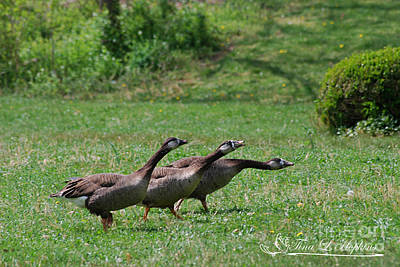 Photograph - Hybrid Canada/greylag Goose 20120421_168a by Tina Hopkins