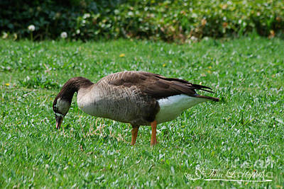 Photograph - Hybrid Canada/greylag Goose 20120421_191a by Tina Hopkins