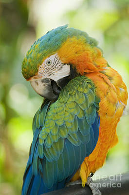 Photograph - Hybrid Macaw by Dan Suzio