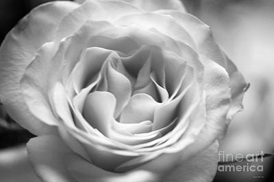 Photograph - Hybrid Tea Rose In B W by Connie Fox