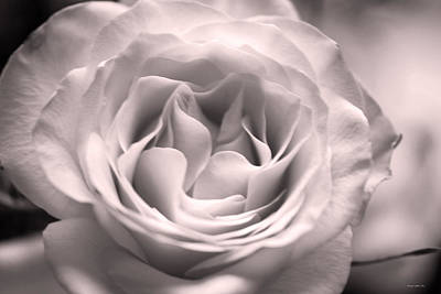Photograph - Hybrid Tea Rose In Dusty Mauve by Connie Fox