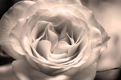 Photograph - Hybrid Tea Rose In Luminous Sepia by Connie Fox