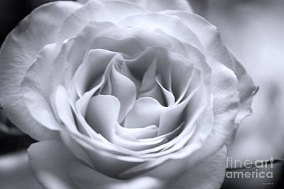 Photograph - Hybrid Tea Rose In Soft Platinum by Connie Fox