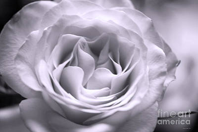 Photograph - Hybrid Tea Rose In Soft Violet by Connie Fox