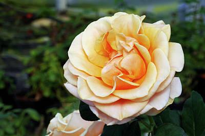 Marilyn Monroe Photograph - Hybrid Tea Rose (rosa 'marilyn Monroe') by Brian Gadsby/science Photo Library