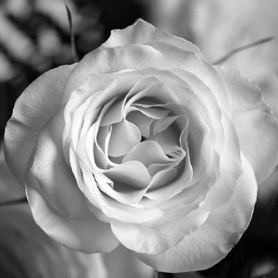 Photograph - Hybrid Tea Rose Square B W by Connie Fox