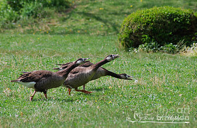 Photograph - Hybrids Canada/greylag Goose 20120421_169a by Tina Hopkins