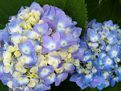 Photograph - Hydrangea - 2 by Charles Hite