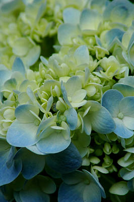 Photograph - Hydrangea 2 by David Weeks