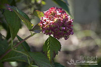 Photograph - Hydrangea 20121004_339 by Tina Hopkins