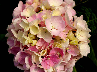 Photograph - Hydrangea-3 by Charles Hite