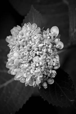 Photograph - Hydrangea 3 by David Weeks