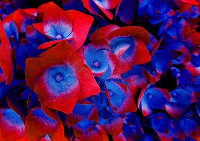 Photograph - Hydrangea 3 by Laurie Tsemak