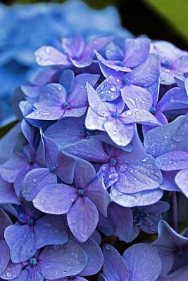 Photograph - Hydrangea Beauty by Robert Clifford