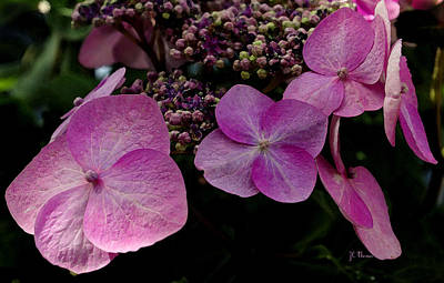 Art Print featuring the photograph Hydrangea Flowers  by James C Thomas