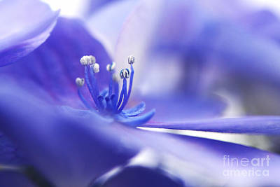 Hydrangea Closeup Art Print
