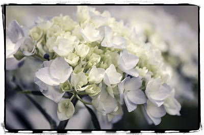 Art Print featuring the photograph Hydrangea  by Craig Perry-Ollila