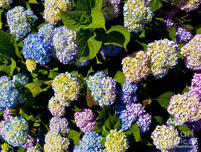 Photograph - Hydrangea Flowers On The Cape by Michelle Constantine