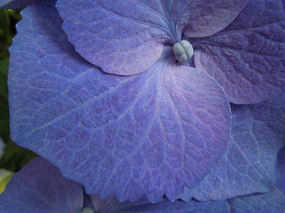 Photograph - Hydrangea I Biltmore by Peg Toliver