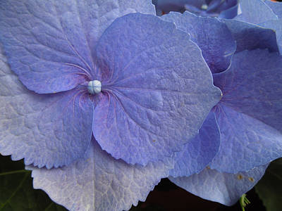 Photograph - Hydrangea II Biltmore by Peg Toliver