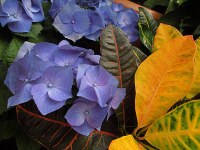 Photograph - Hydrangea IIi Biltmore by Peg Toliver
