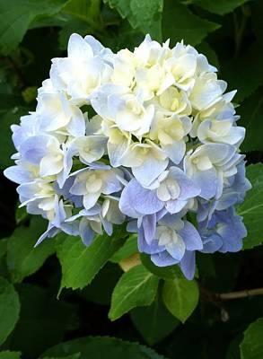 Amanda Drawing - Hydrangea In Bloom by Amanda Vann