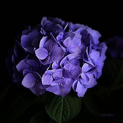 Photograph - Hydrangea In Lavender by Julie Palencia