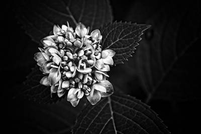 Photograph - Hydrangea In Monochrome #5 by Ben Shields