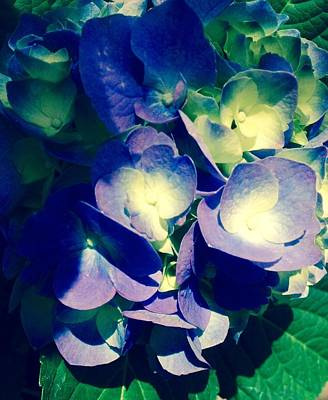 Photograph - Hydrangea In The Sunlight- Edit by Alohi Fujimoto