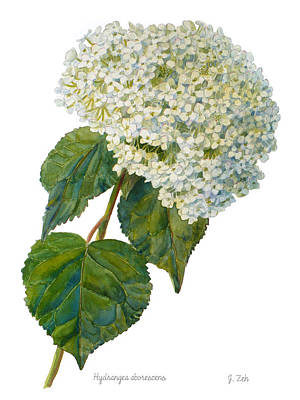 Painting - Hydrangea Aborescens by Janet  Zeh