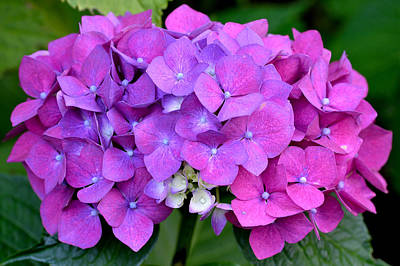 Photograph - Hydrangea  by Kathy King