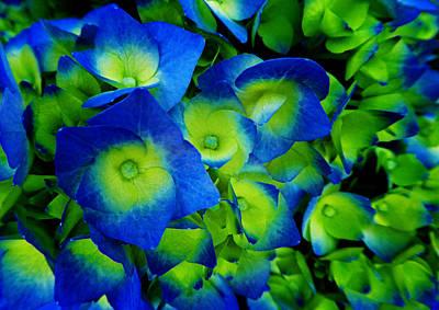 Photograph - Hydrangea by Laurie Tsemak