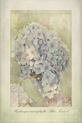 Hydrangea Macrophylla Blue Bonnet Art Print by John Edwards