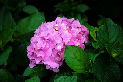 Photograph - Hydrangea Macrophylla Pink Hydrangea by Rich Franco