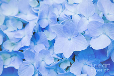 Photograph - Hydrangea Macrophylla  by Sharon Mau