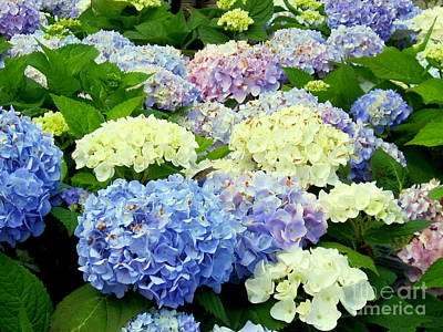 Photograph - Hydrangea Mix by Margaret Newcomb