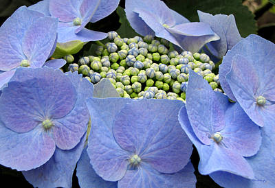 Photograph - Hydrangea Nest by Duane McCullough