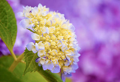 Purple Hydrangeas Photograph - Hydrangea On Purple by Parker Cunningham