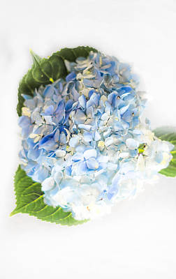 Hydrangea On White Art Print by Shelby  Young