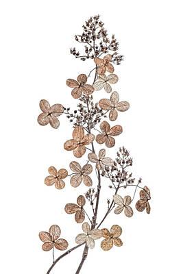 Seasons Photograph - Hydrangea Paniculata by Mandy Disher